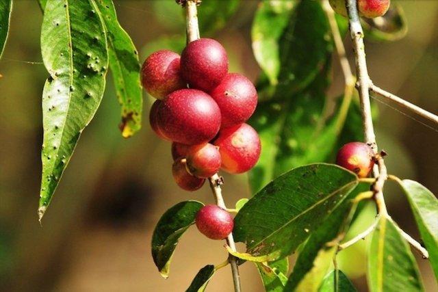 Camu-camu - A fruta que tem mais Vitamina C