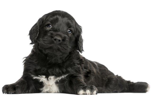 Cão d´água português
