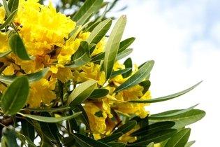Ipê Amarelo: Para que serve e Como usar