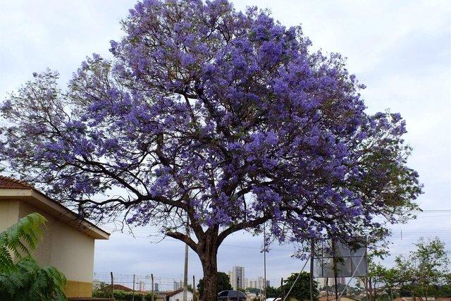 Árvore de carobinha, também conhecida como Jacarandá