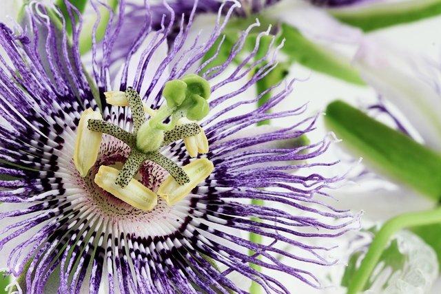 Passiflora incarnata: para que serve, como tomar e efeitos colaterais