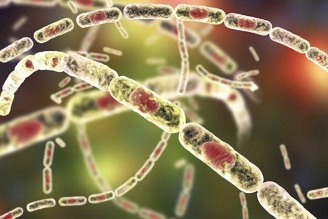 Transmissão e tratamento da doença Antraz