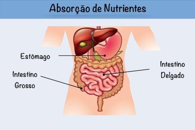 Entenda como ocorre a absorção de nutrientes no intestino