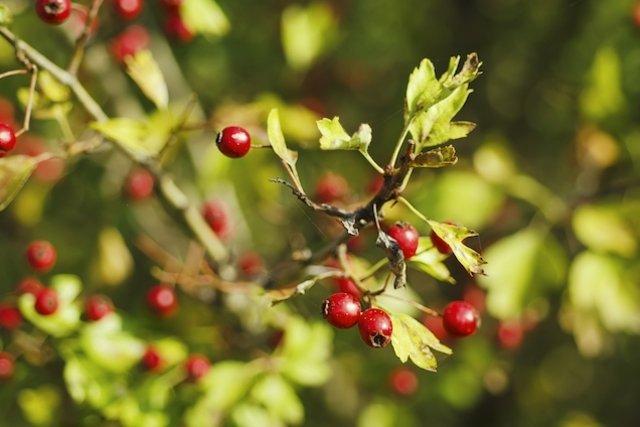 Pilriteiro - Planta Medicinal que trata do Coração