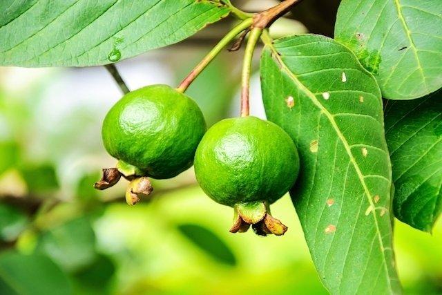 Guayaba: Beneficios y cómo consumirla