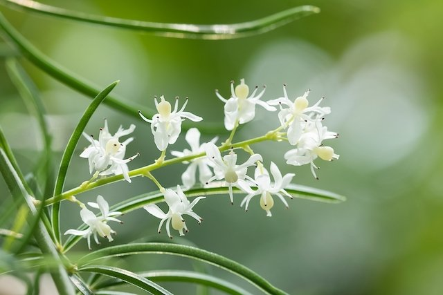 Shatavari - Planta medicinal que melhora a Fertilidade