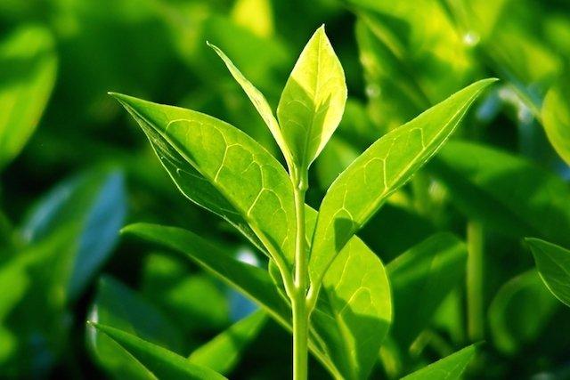 Propriedades do chá verde (Camellia sinensis)