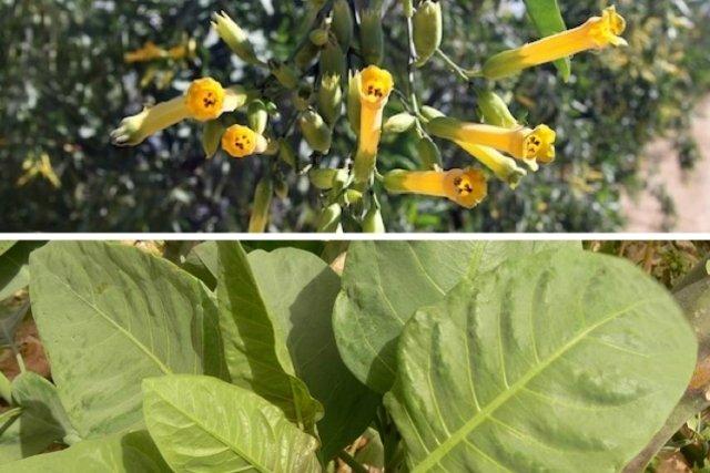 Saiba identificar a Planta Venenosa que parece Couve