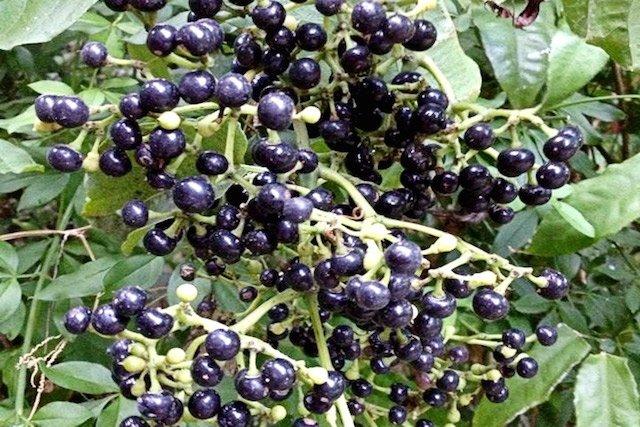Como usar Planta Medicinal Insulina para Diabetes