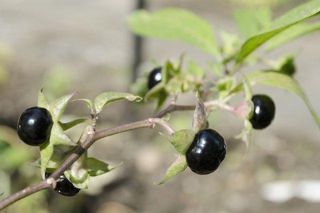 Beladona: A planta medicinal que é venenosa