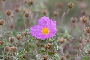 Cistus Incanus: planta que fortalece a imunidade