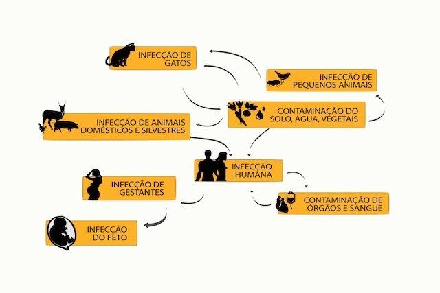 Ciclo da toxoplasmose