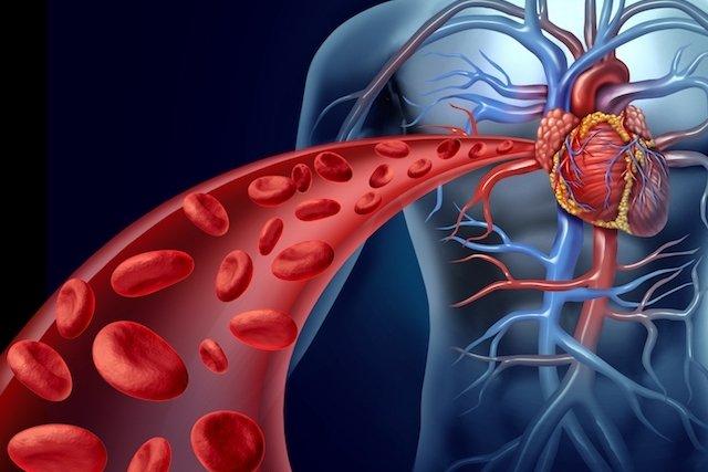 Saiba como Funciona o Sistema Cardiovascular