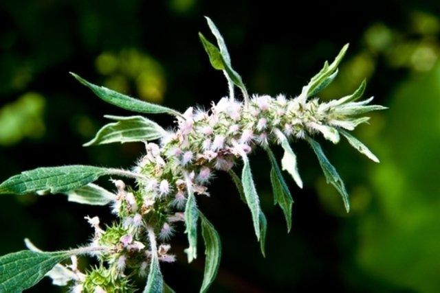 Remédios caseiros para Hipertireoidismo