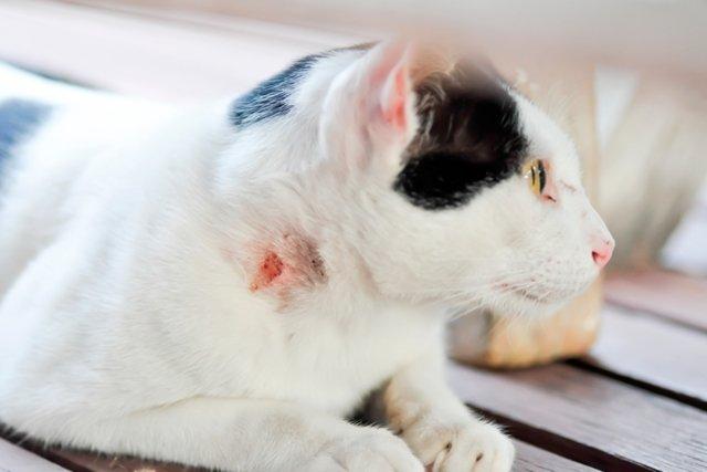 infecciones de la piel humana causadas por gatos