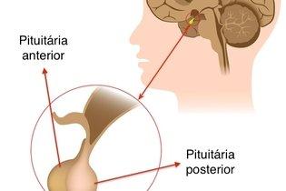Pituitária anterior e pituitária posterior