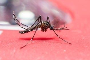 Como identificar o mosquito da Dengue (Aedes aegypti)