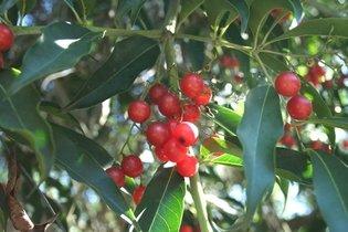 Pholia magra: Para que serve e como tomar