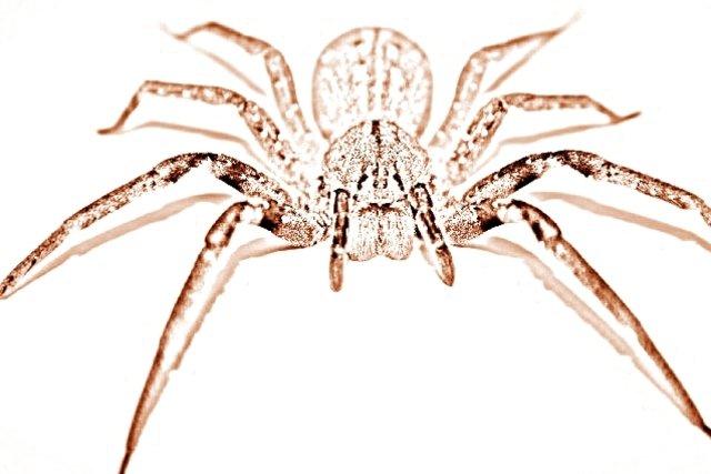 Aranha aramadeira