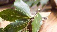 Hojas de laurel: para qué sirven y cómo se prepara el té