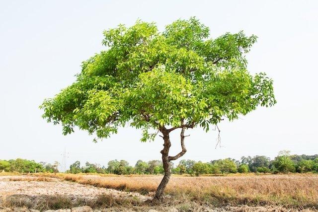 Para que serve a fruta e a folha do Jamelão
