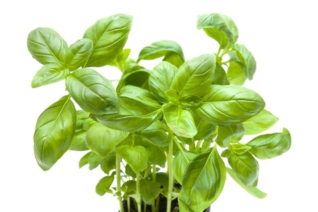 Benefícios do Manjericão, como usar e plantar