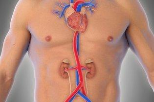 A aorta é o vaso vermelho no abdomên