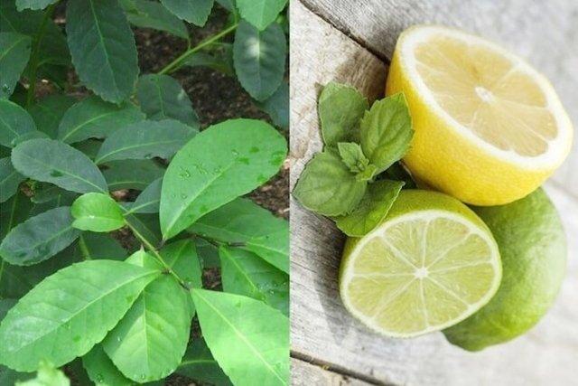 Ingredientes necessários para fazer o chá mate com limão