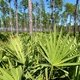 Saw Palmetto: Para que serve e como usar
