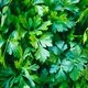 12 benefits of parsley for your health