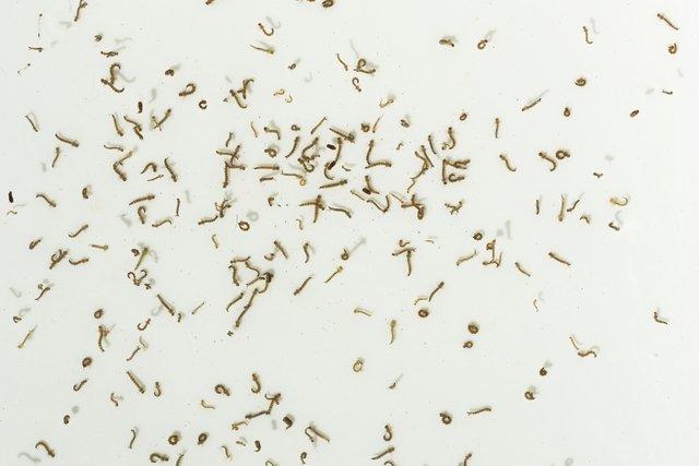 Larvas e pupas de Aedes Aegypti