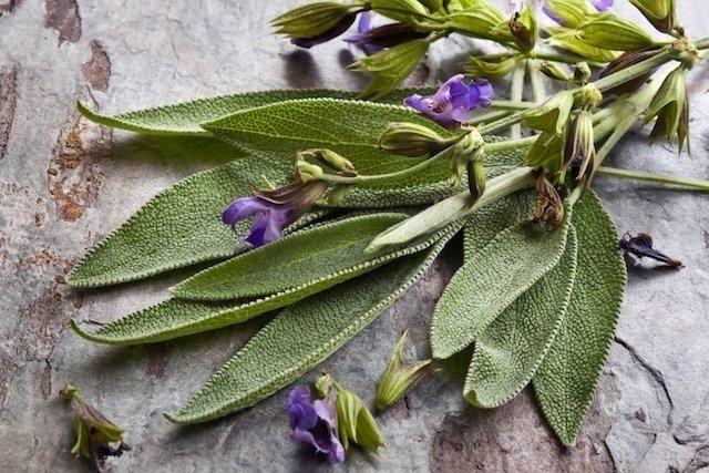Salvia: qué es, para qué sirve y cómo usar - Tua Saúde