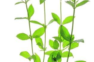 Hortelã comum ou Menta spicata