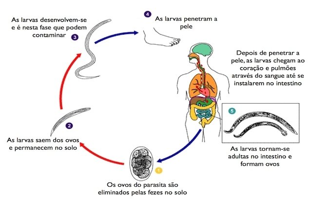 ciclo de vida do teniase