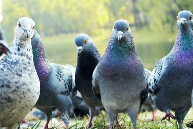 Doenças transmitidas pelos pombos: sintomas e o que fazer