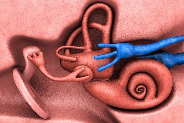Estruturas internas do ouvido