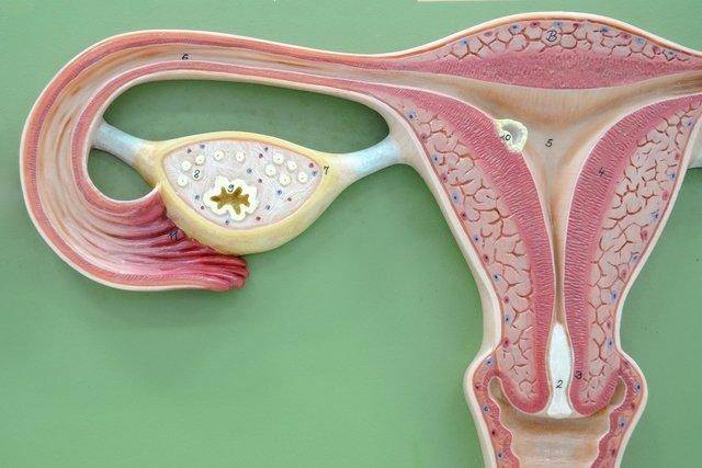 O que é Ovulação, quando acontece e como calcular