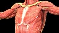Sistema muscular: o que é, classificação dos músculos e tipos