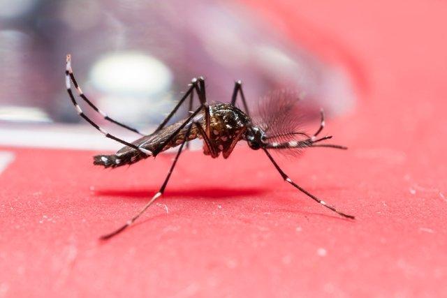 mosquito-da-febre-amarela_34953_l Mosquito da Febre Amarela: principais características, como transmite a doença e como prevenir