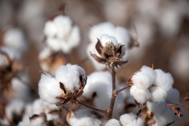 Vantagens do óleo de algodão